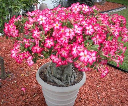 Adenios (rosa do deserto), flores originárias do deserto da áfrica