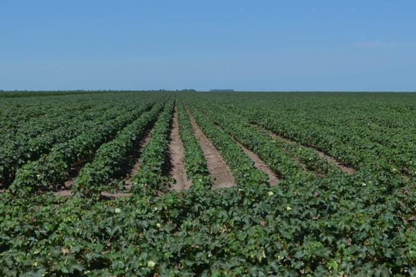 A área de plantio de algodão para a safra 2014/2015, na região oeste da Bahia, é de 266.640 hectares | Foto: Ascom Abapa