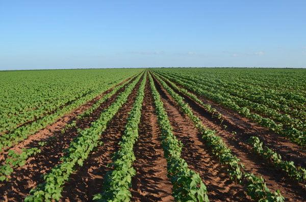 A região oeste tem uma área de cerca de 227 mil hectares, representando 98% da produção na Bahia | Foto: Virgília Vieira/Ascom Abapa