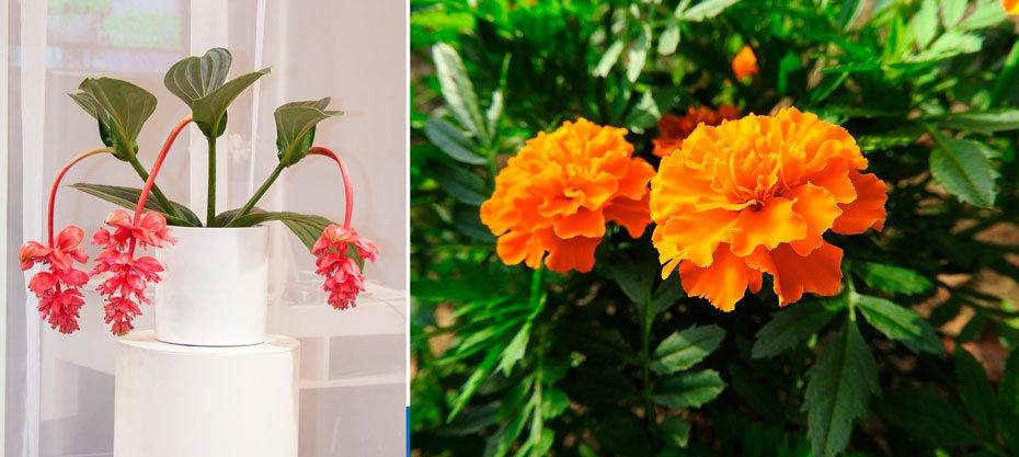 Flor e Tagete   Fotos: Divulgação