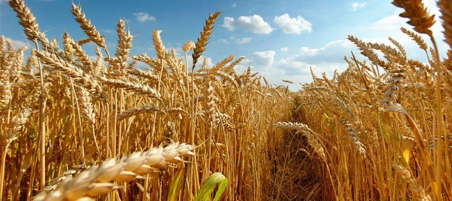 produtores-baianos-apostam-no-trigo-para-a-agroindustrializacao-02