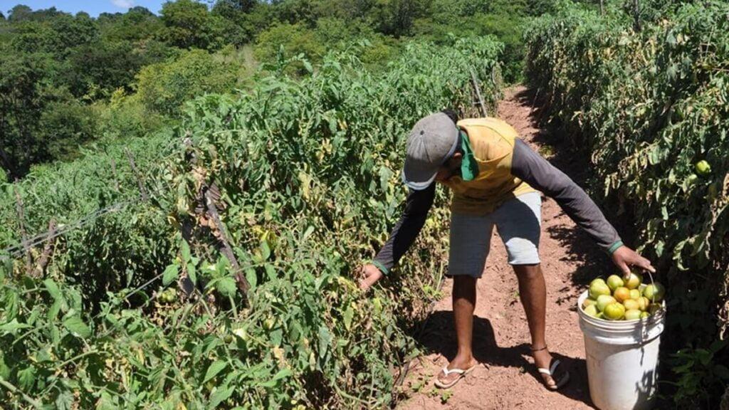 Produtores de tomate de Barreiras